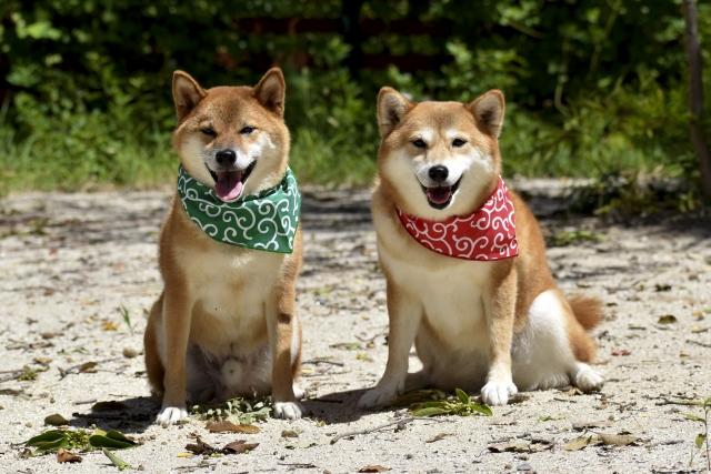 かわいいしば犬 仲間