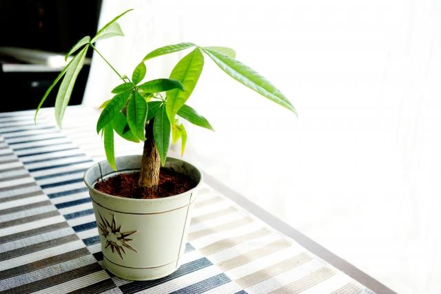 観葉植物と言えばパキラ。最初にチョイスしたい育てやすさです。